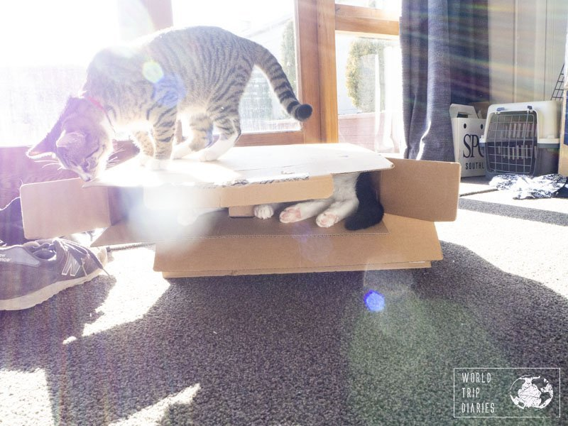 A cat inside a box and another cat on top of it, playing. This is still one of our favorite things to do.