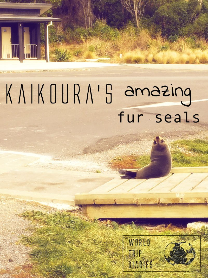 Kaikoura is home to a huge number of the cutest fur seals in the world! Check them out here!