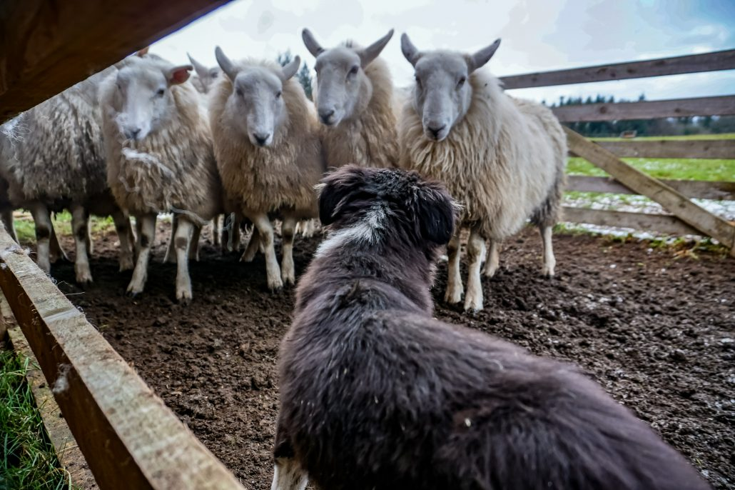 A border collie looking away with 4 sheep staring at it - sheep bearding in Dublin, Ireland