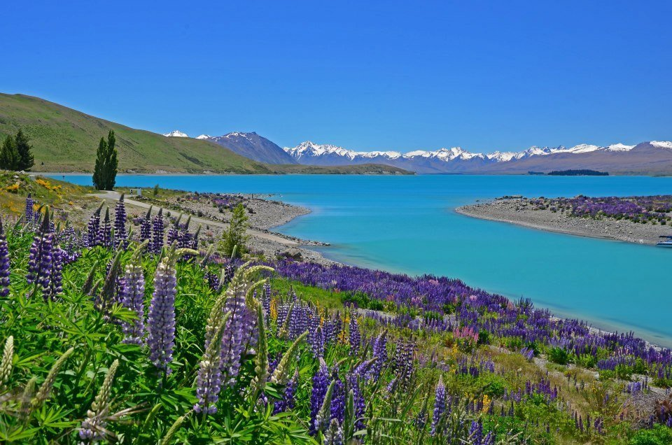 With unbelievably blue waters and stunning flowers, Lake Tekapo is definitely one of the most beautiful places to visit in New Zealand.