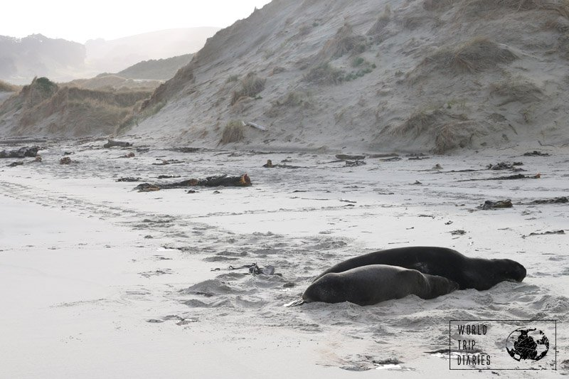 Sea lion mom & pup sleeping on the white sands of Sandfly Bay, in Dunedin (NZ). They were so relaxed that we went unnoticed.