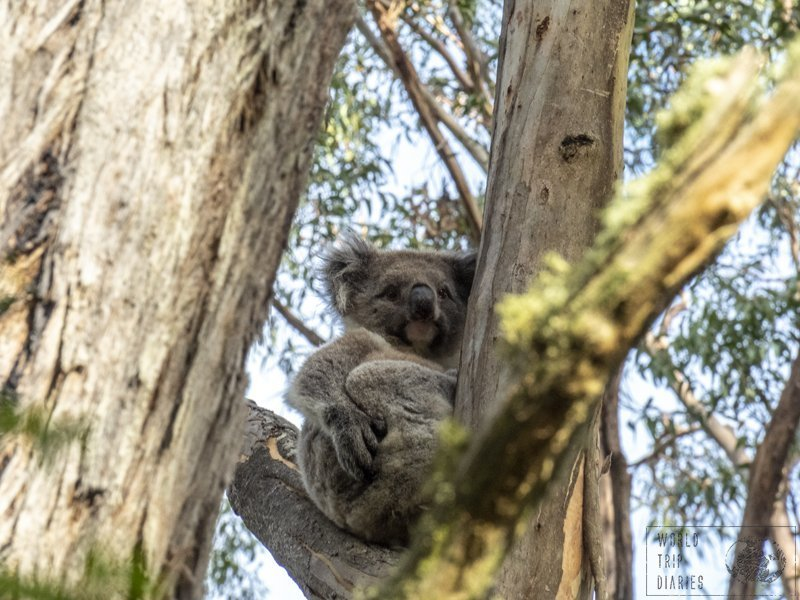 Spotting koalas in the wild was one of the highlights of the Great Ocean Road for us. There were so many, and they're so cute! Find out where!