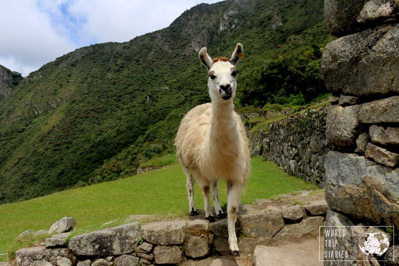 A white llama walking over a rocky fence in Machu Picchu, Peru. Machu Picchu isn't just ruins. It's llamas. I wouldn't need another reason to visit it.