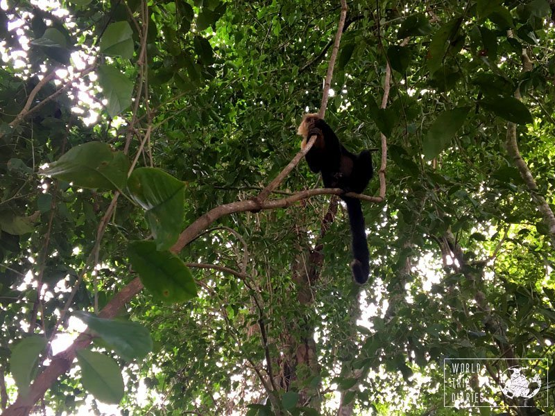 White-faced capuchin monkeys are numerous in the Manuel Antonio National Park (Costa Rica). Easy to spot, they're also very smart and cheeky. They get really close to people.