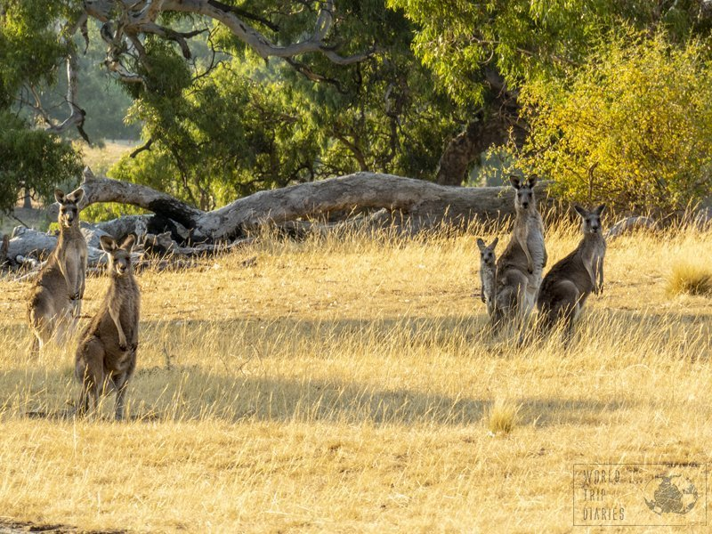 One of the best places in Melbourne to see wild kangaroos is at the Woodlands Park. There were so many!