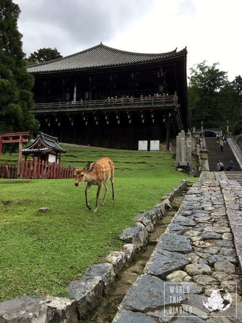 A Nara deer roaming on the grassy area in front of a temple. This was one sweet deer - unfortunately, I'd run out of deer biscuits and there was no one selling them around.