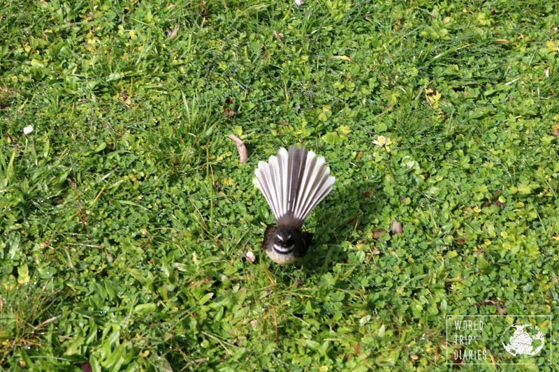 A cute fantail (bird with a hand-fan like tail) on the grass outside the Buried Village, in Rotorua, NZ.