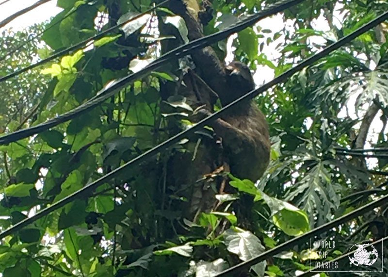 A three-toed sloth in Punta Uva, Costa Rica. We learned how to find them on the trees and they are, actually, fun!