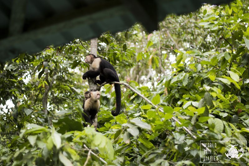 The white-faced capuchins were smart monkeys and capable of opening fridges, boxes, and backpacks. Watch out for your belongings!