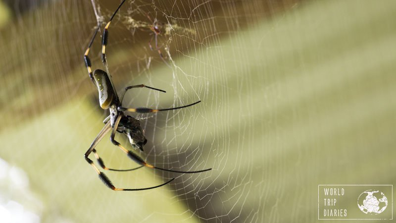 The golden orb spiders are very big, and yet, gentle creatures. There were many of them in Punta Uva and we enjoyed thoroughly watching them do their stuff.