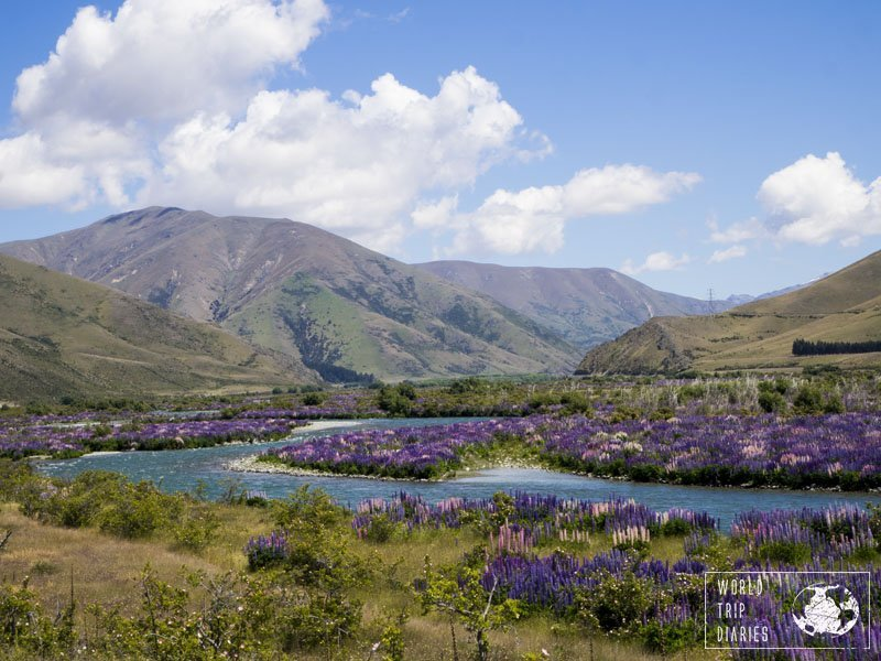 In NZ's South Island, lupin flowers grow everywhere. They're even more famous around the blue waters of lakes and rivers of the Southern Lakes region. We visited it with our kids! Click to find out more!