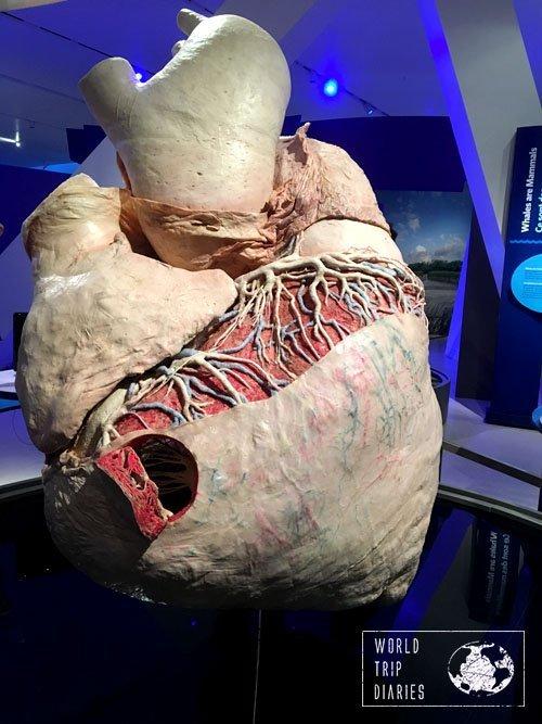 Blue Whale Heart, ROM, Toronto, Canada